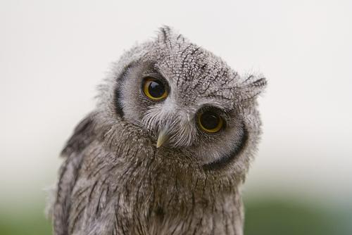 Wonder owl